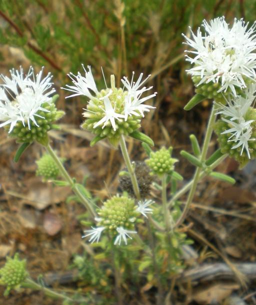 Monardella hypoleuca ssp. lanata has white flowers, fuzzy leaves and grows most often at the edges of disturbed areas or trails. Photo by Anna Leavitt