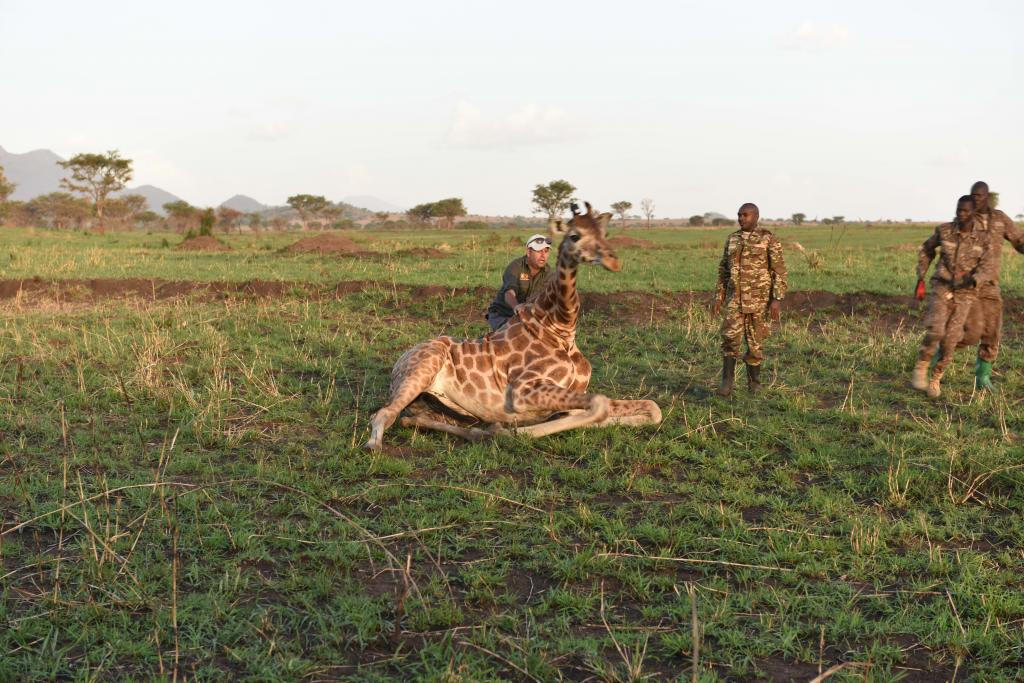 With the tracking unit attached, collaborators  Dr. Julian Fennessy of Giraffe Conservation Foundation and Dr. Robert Ahuro if Uganda Wildlife Authority assist a female back to her feet.