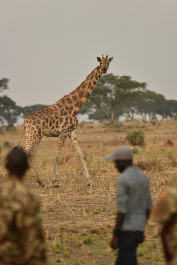 A female giraffe with a tracking unit attached to her ossicone (horn), bids a graceful farewell to the capture team in Murchison Falls National Park, Uganda. She's now providing vital information that is key to saving her species.