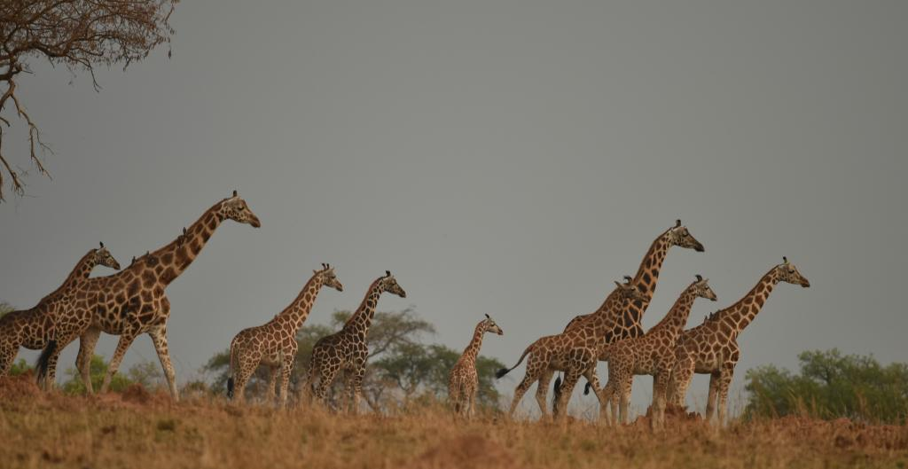 A tower of females and calves in Murchison Falls, which will have a bright future if we can continue our Conservation efforts