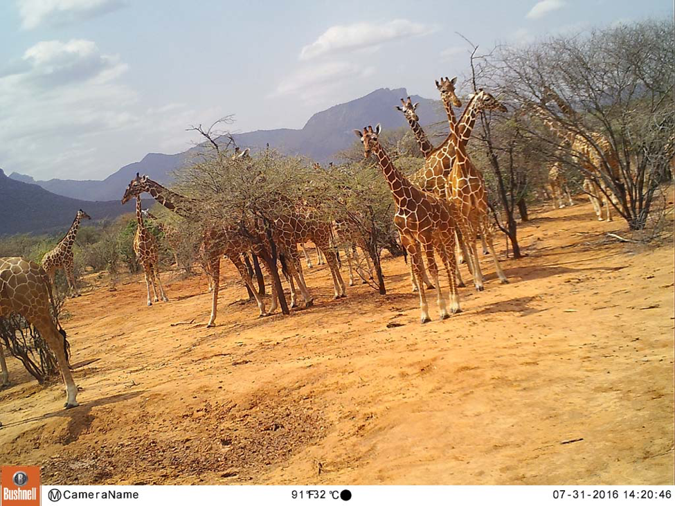 "This field camera image is from camera N27 in a ""hot spot"" zone within Namunyak Wildlife Conservancy. From the photo monitoring heat map above, we can pull images from the field cameras within those hot spots to see if we are seeing high volumes of giraffes on our cameras as our team is seeing in person."