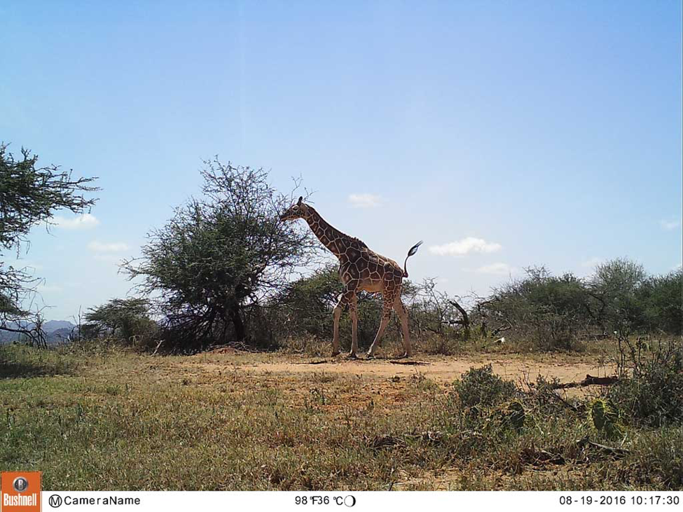"This image is from camera L43 in a ""hot spot"" zone within Loisaba Conservancy. From the photo monitoring heat maps, we can pull images from the field cameras within those hot spots to see if we are seeing high volumes of giraffes on our cameras as our team is seeing in person."