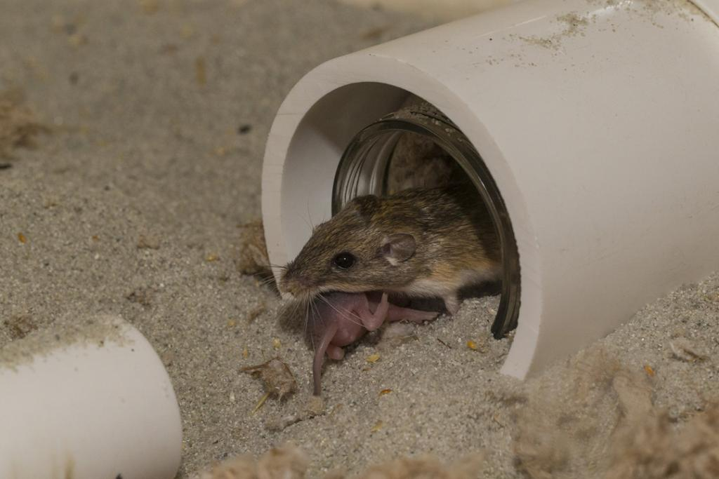 We are breeding Pacific pocket mice in an off-exhibit area and training them for release.