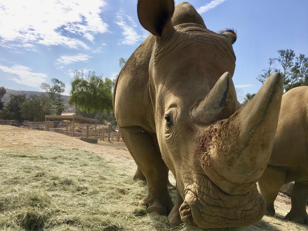 Southern white rhino female, Livia, enjoying some hay at the Rhino Rescue Center.