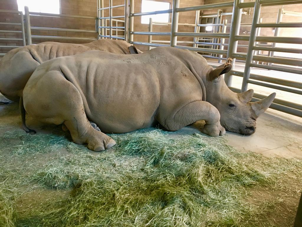 Two southern white females resting in the maternity barn at the Rhino Rescue Center.
