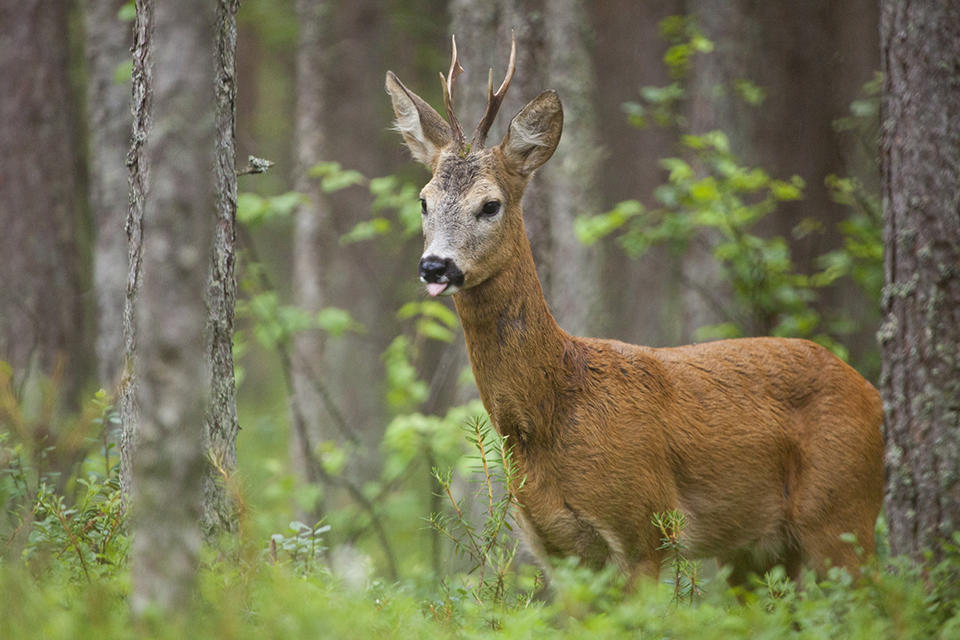 Roe deer and other hooved animals can develop skim tumors after exposure to a virus called Papillomavirus.