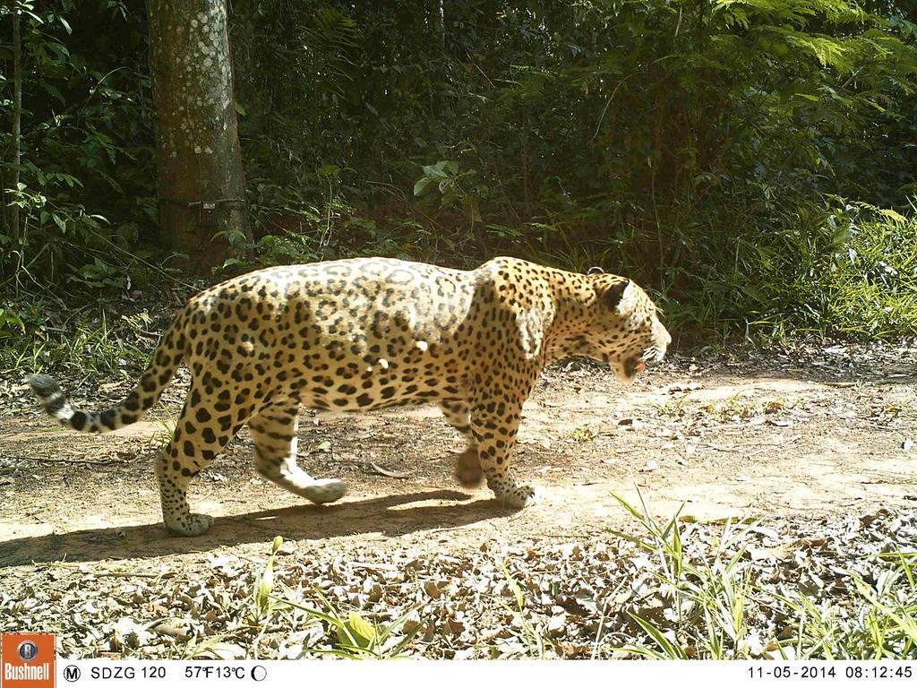 A jaguar (Panthera onca) caught on a field camera!