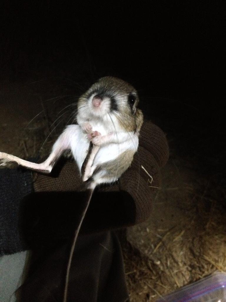Stephens' kangaroo rat. Photo by Veronica Jo.