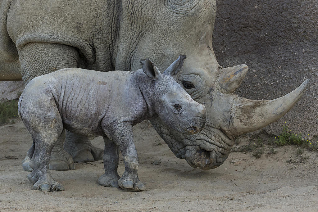 Masamba was the first calf born at the Safari Park after our research identified phytoestrogens as likely EDCs contributing to low fertility and were subsequently removed from white rhino diets.