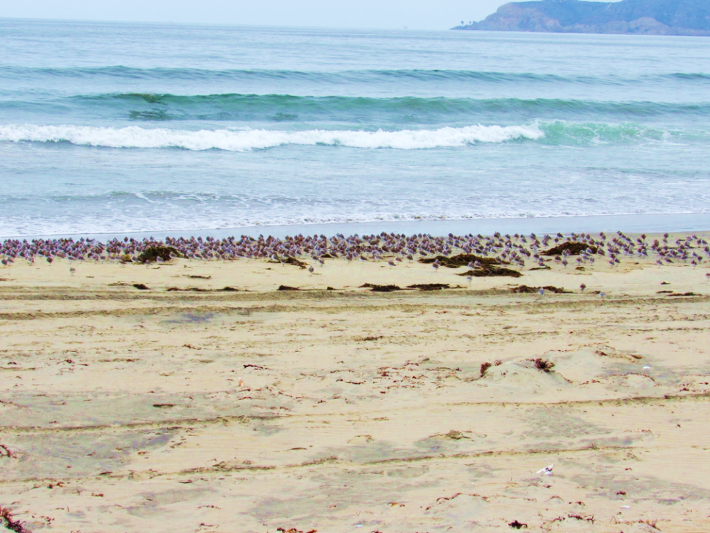 A flock of Sanderlings roosting by the water's edge. (Photo by M. L. Post)
