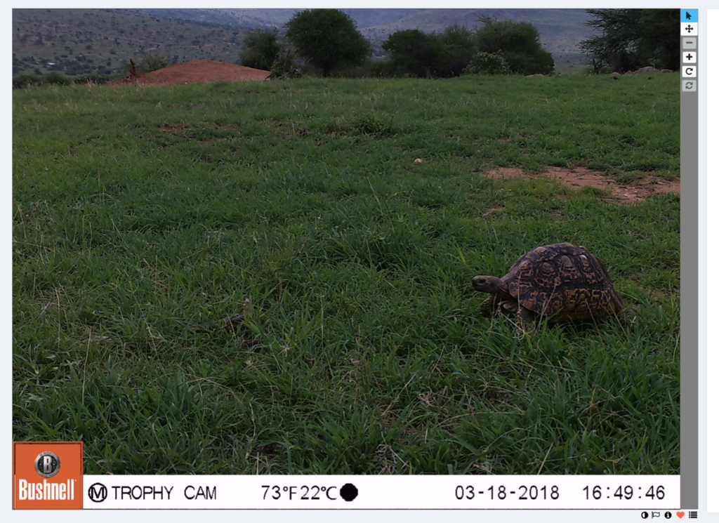 Leopard tortoise is a lovely find!
