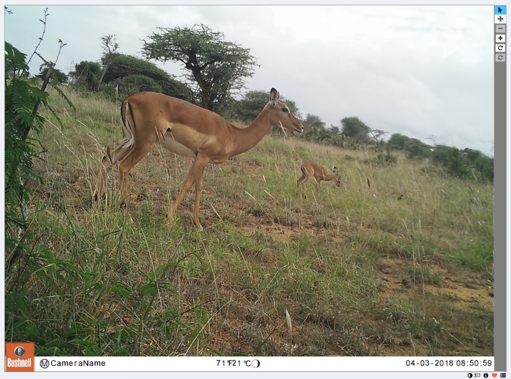 Female impala and her newborn was a happy find!