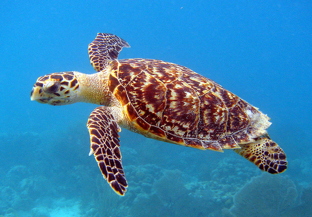 Sea turtles, particularly Green Sea turtles, can develop tumors on their skin after exposure to contaminated water and a virus that is specific to turtles.
