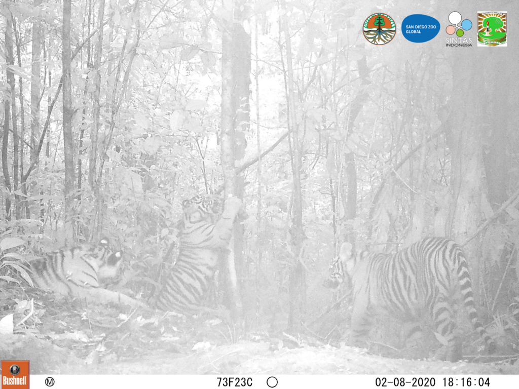 Tigers out at night.