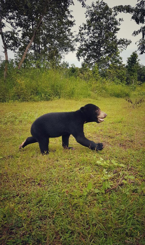 A young rescued sun bear running toward a far brighter and hopeful future thanks to our partners Free The Bears (picture: Elizabeth Davis, SDZG).