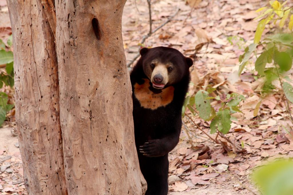 A rescued sun bear displays her markings at the Free the Bears bear rescue center in Cambodia (picture: David O'Connor, SDZG).