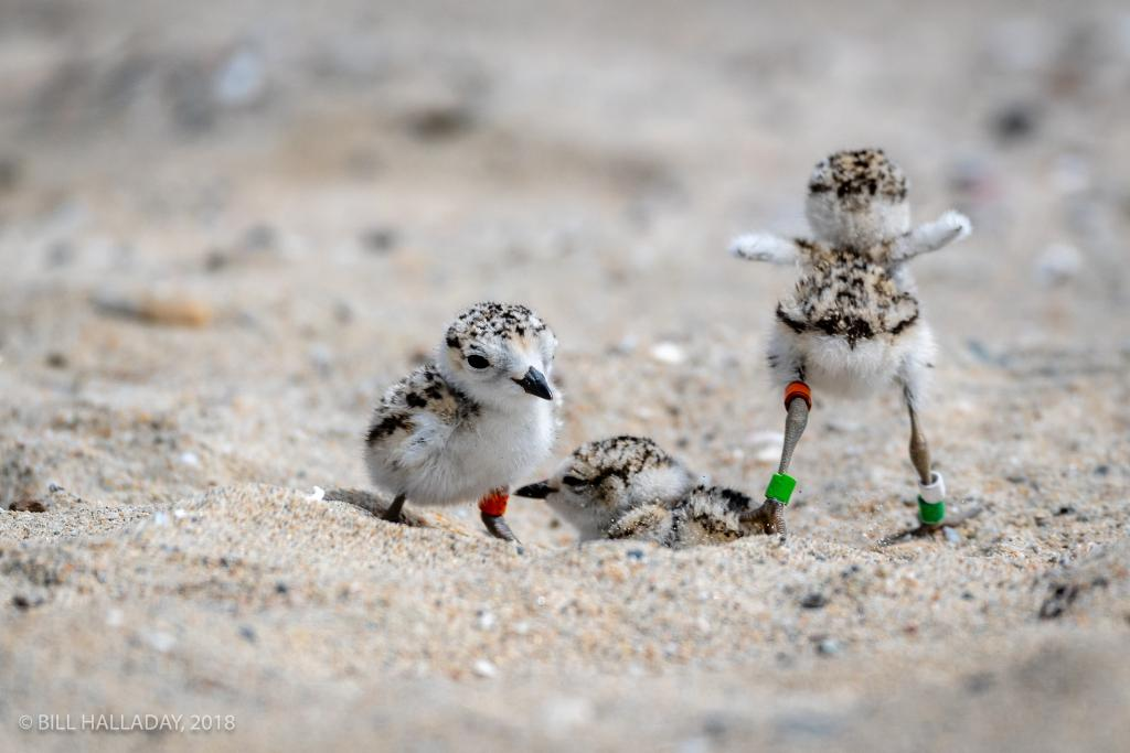 The Terns and Plovers team also collaborates with sites in Orange County, such as helping to band these plover chicks at Huntington State Beach, from the third plover nest at this site in recent times. (Photo by William Halladay, 2018).