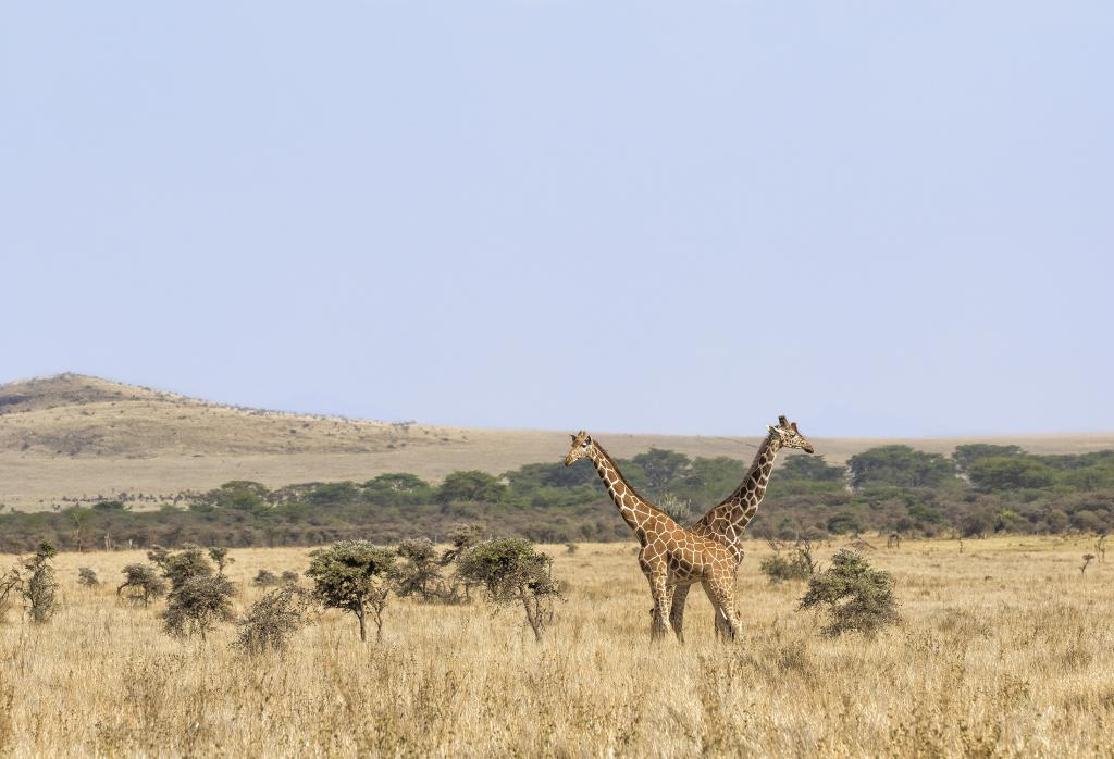 """Conservationists are working to stave off the """"silent extinction"""" of giraffe across Africa."""