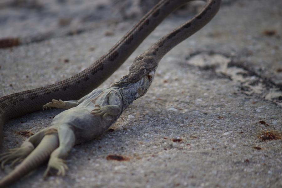 A rainbow boa and its prey, a juvenile iguana.