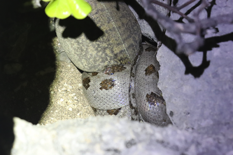 A rainbow boa wrapped around a young adult iguana at night.
