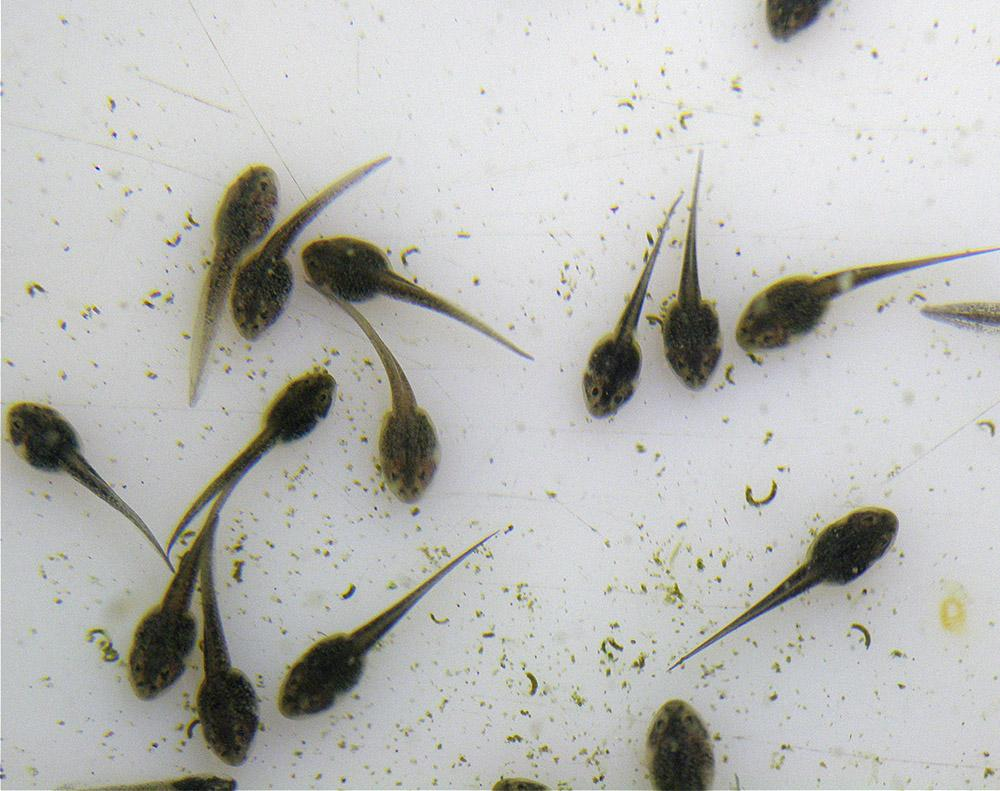 Once these tadpoles transform into froglets, they will be released into their natural habitat.