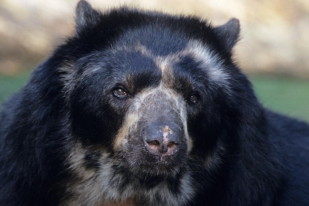 Compare the markings of this bear, Tommy, with those of the bear above (named Turbo) and note the differences.