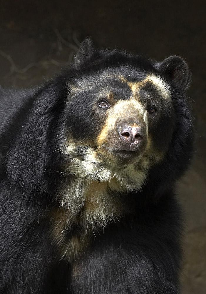 Can an Andean bear's nose be a way to determine its age?.