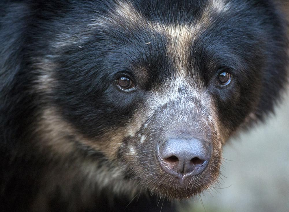 Andean bears are sometimes called spectacled bears, due to the rings of lighter fur around their eyes.