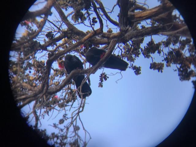 Two 'alala foraging on ohia.
