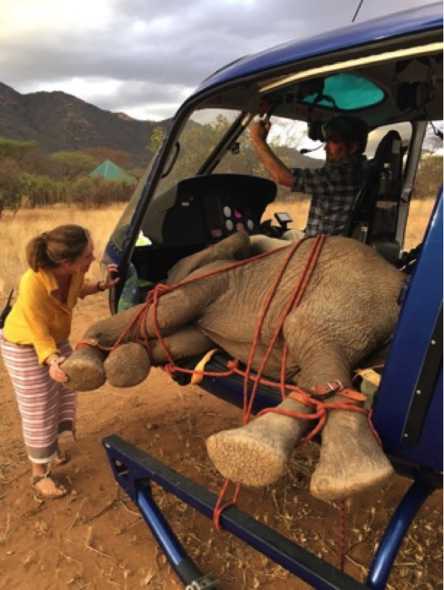 The orphaned elephant calf was rushed to the sanctuary by helicopter.