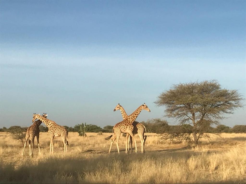 West African giraffe in their new home in Gadabedji Biosphere Reserve. Photo by GCF/Sean Viljoen.