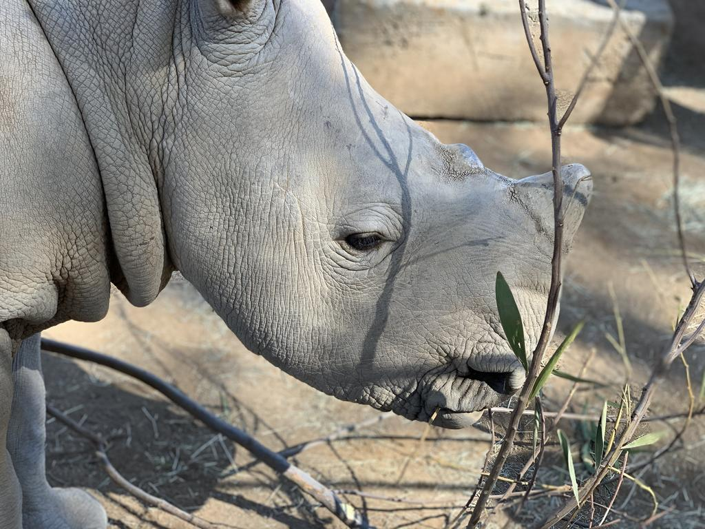 The Reproductive Sciences group has been monitoring rhino hormones for over 30 years. With the help of this data southern white rhino calf, Edward, was born in 2019 as a result of hormone- induced ovulation and artificial insemination.
