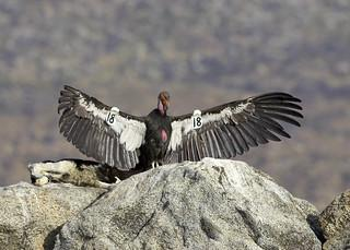 Wild (free flying) California condor. Photo by San Diego Zoo Global