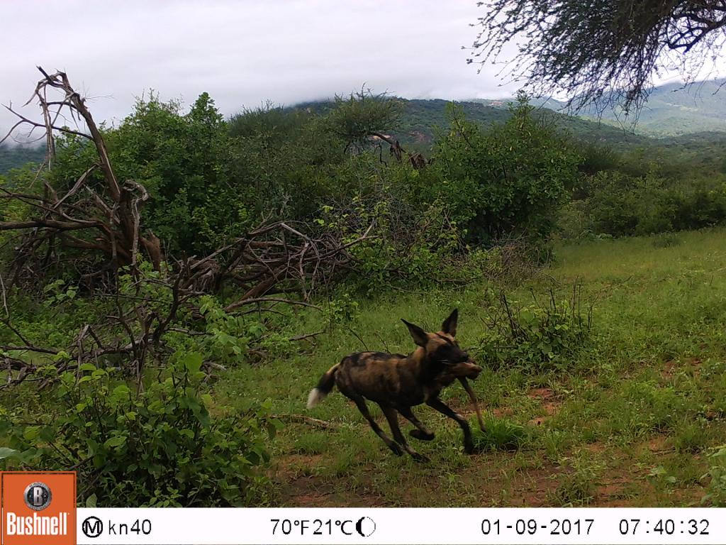 A wild dog making a fleeting appearance on camera.