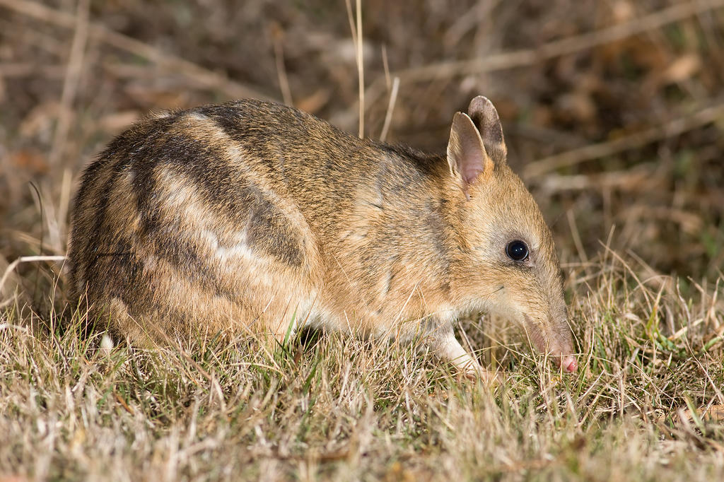 Small population sizes of the Cape mountain zebra and the Western barred bandicoot have increased the risk that these species will get a genetic diseases such as cancer.
