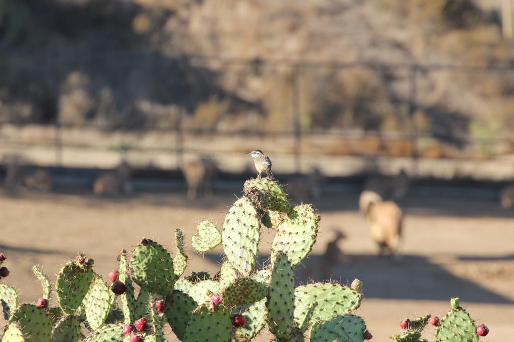 The Biodiversity Reserve at the Safari Park boasts the north San Diego County stronghold of coastal cactus wren.