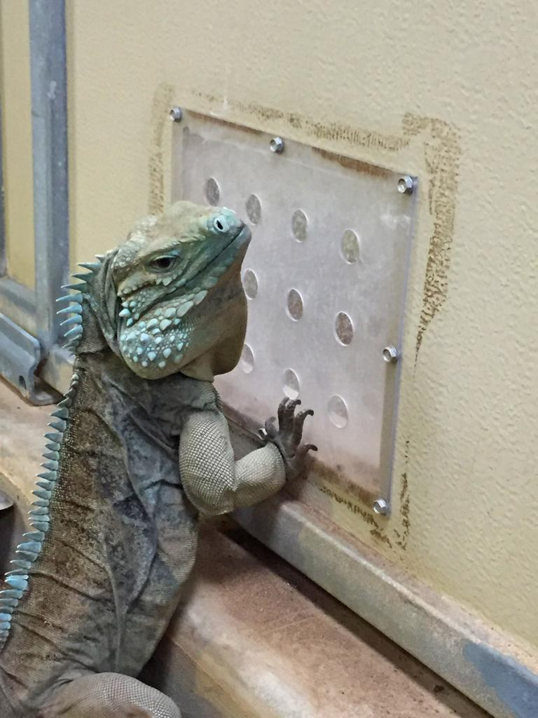 "A male Grand Cayman blue iguana (Cyclura lewisi) interacts with a female through a ""howdy door"" which allows him to stay in visual and chemical contact with the female throughout the year, hopefully making breeding interactions more successful."