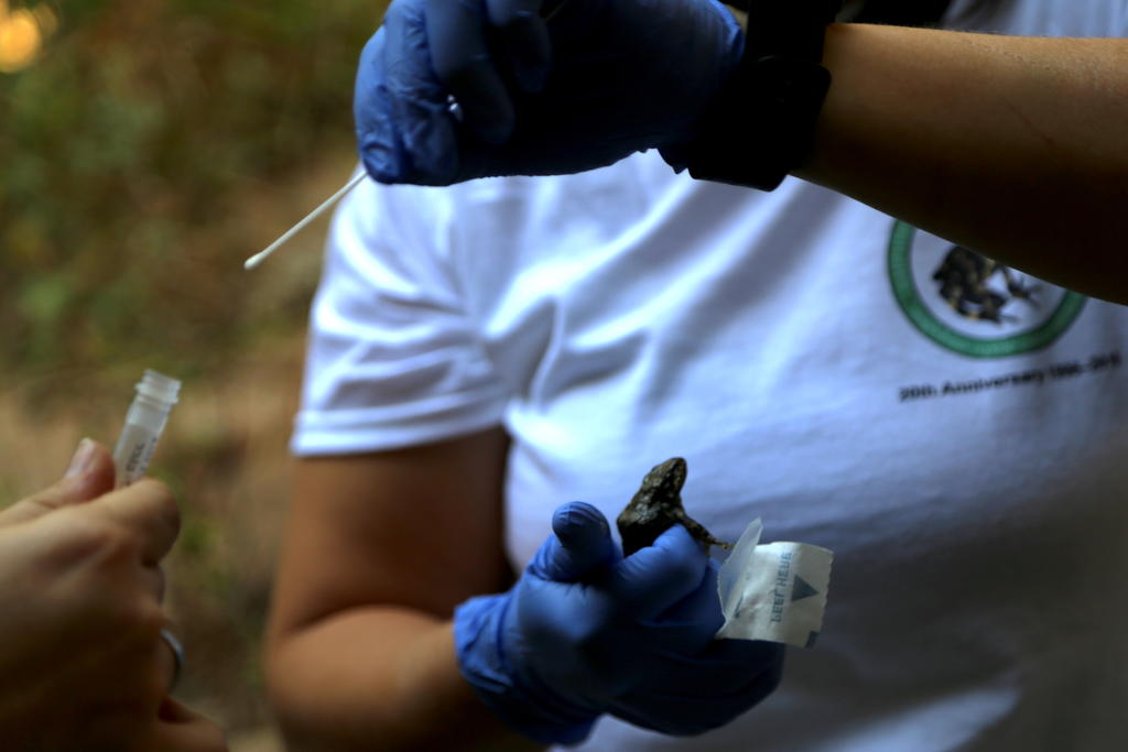 Collecting a skin swab from a mountain yellow-legged frog in the wild in order to monitor for potential chytrid infection.