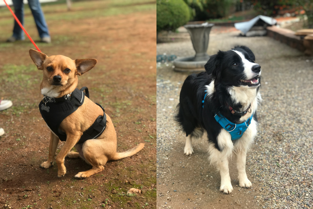 Bighetti the Chihuahua and Bunny the border collie, two of the scent detection dogs being trained to recognize and locate mountain yellow-legged frogs by scent.