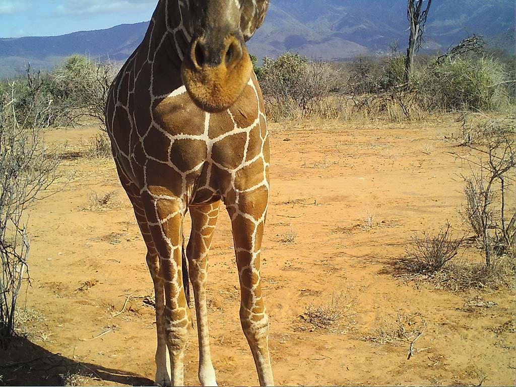 Thank you to all the volunteers who are sticking their necks out for giraffe!
