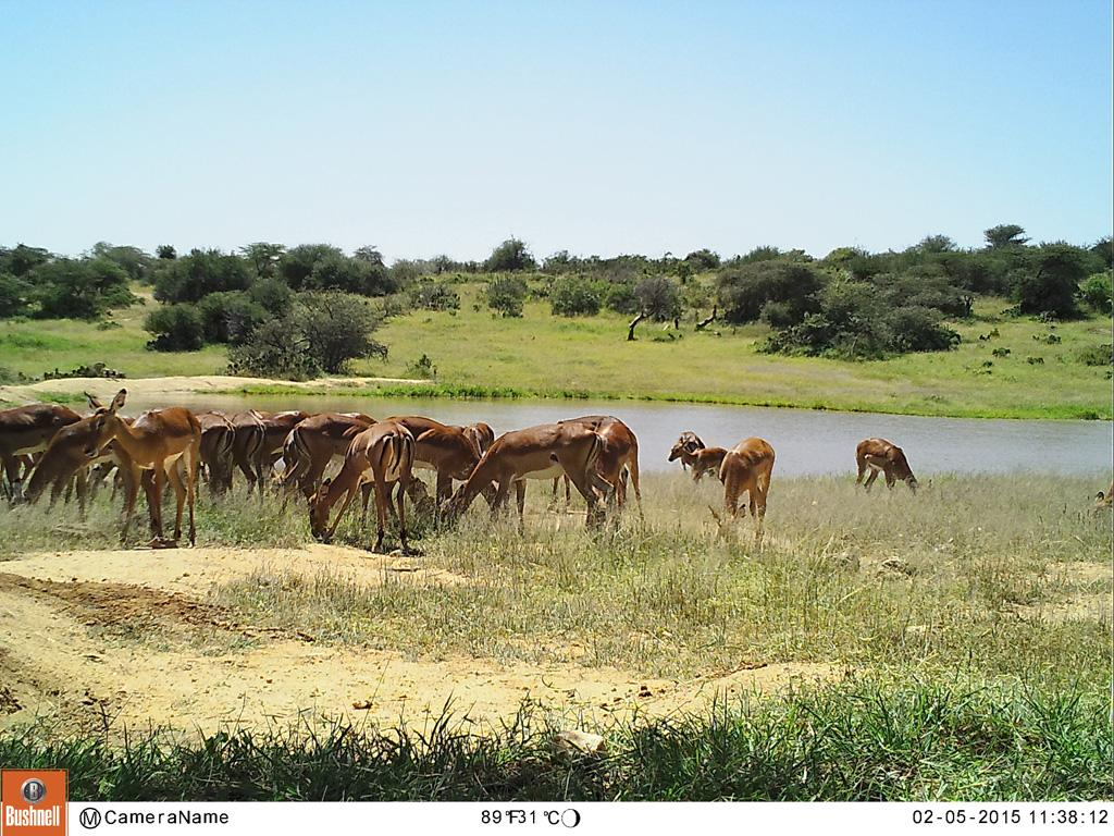 Herd of impala hanging out at the lake.