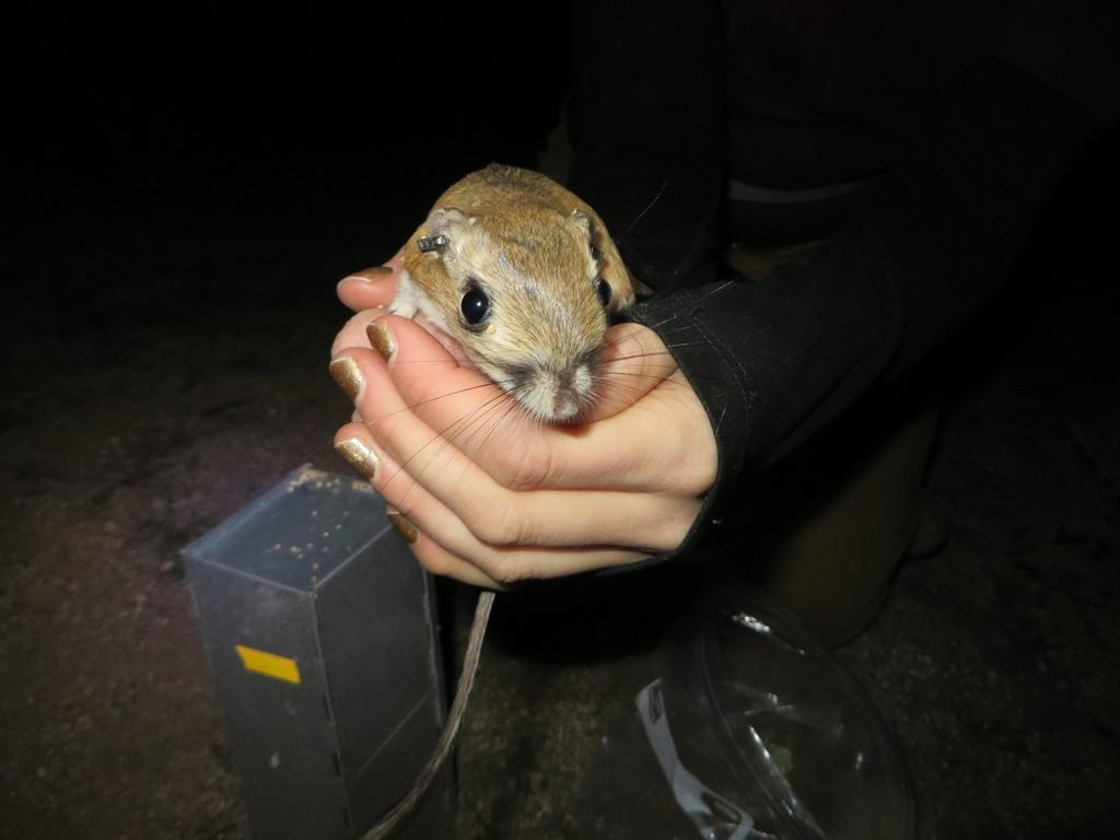 Trapping a nocturnal kangaroo rat.