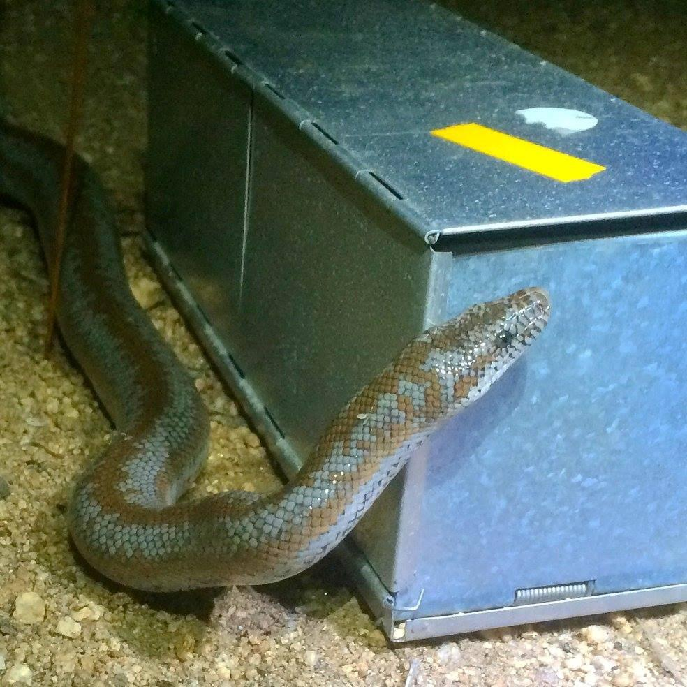 A (harmless) rosy boa checking out a trap.