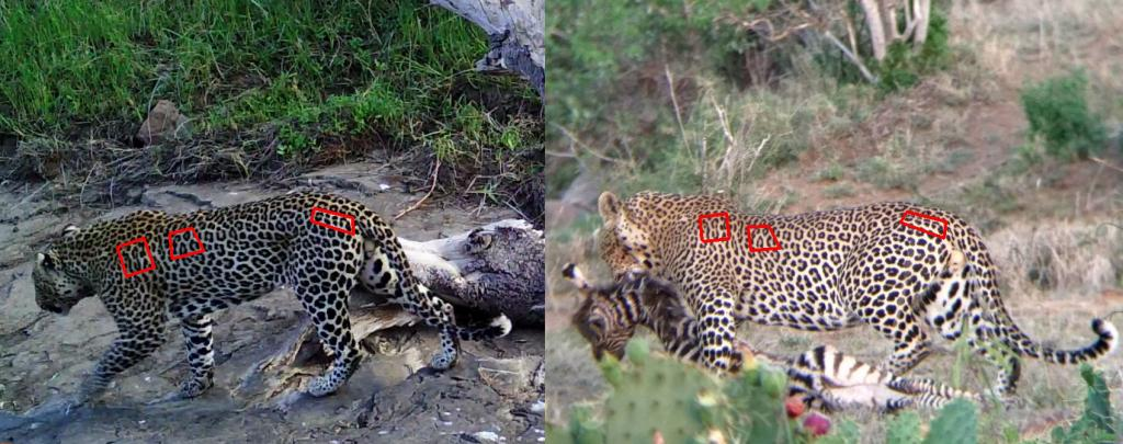 Wildlife cameras deployed by SDZG researches capture an image of a male leopard on June 30, 2017 (left). After comparison, it was determined that this male was the same that a tour guide captured on his cell phone on June 10, 2017 (right). The red boxes indicate characteristic coat markings that are unique to this leopard. © Nicholas Pilford