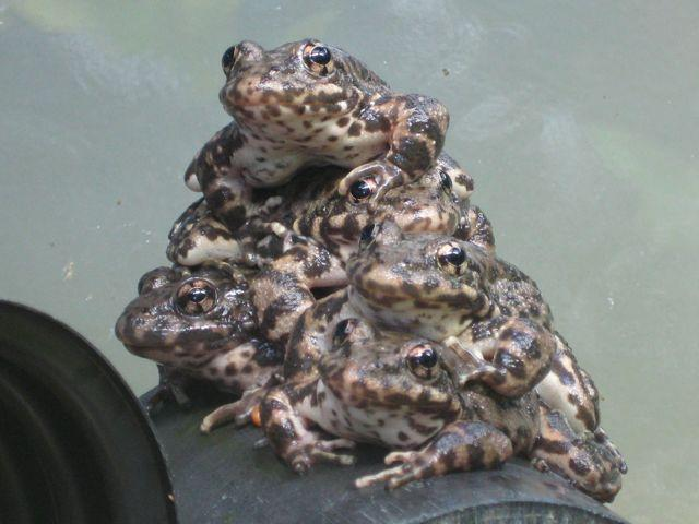 Mountain yellow-legged frog metamorphs in captivity, prior to entering hibernation.