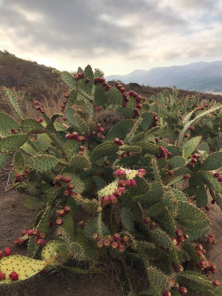 Planted in late 2010, this robust cactus now supports the nest of a coastal cactus wren!