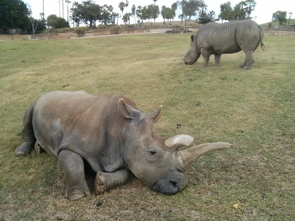 A crash of rhinoceros, with Nola in the foreground.
