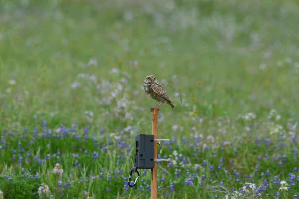 Shown here are two tools used to monitor the burrowing owl's behavior and movements: trail cameras and GPS backpacks.