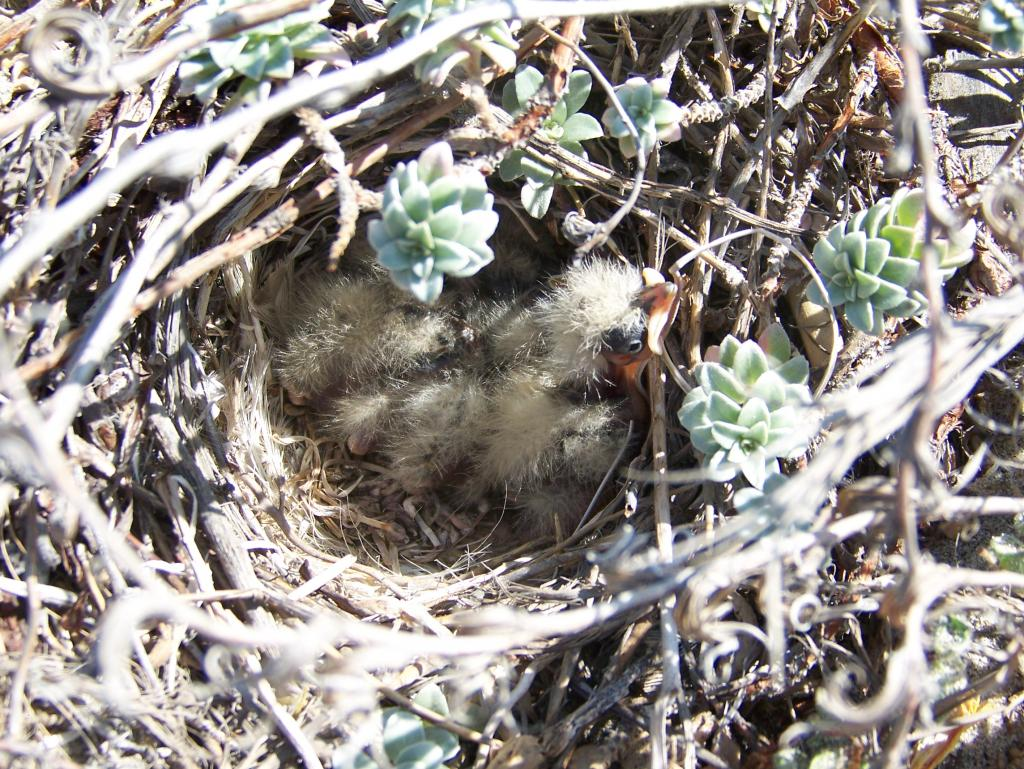 Horned lark chicks in nest cup (Photo by: Rossy Mendez, 2007, courtesy of Naval Base Coronado)