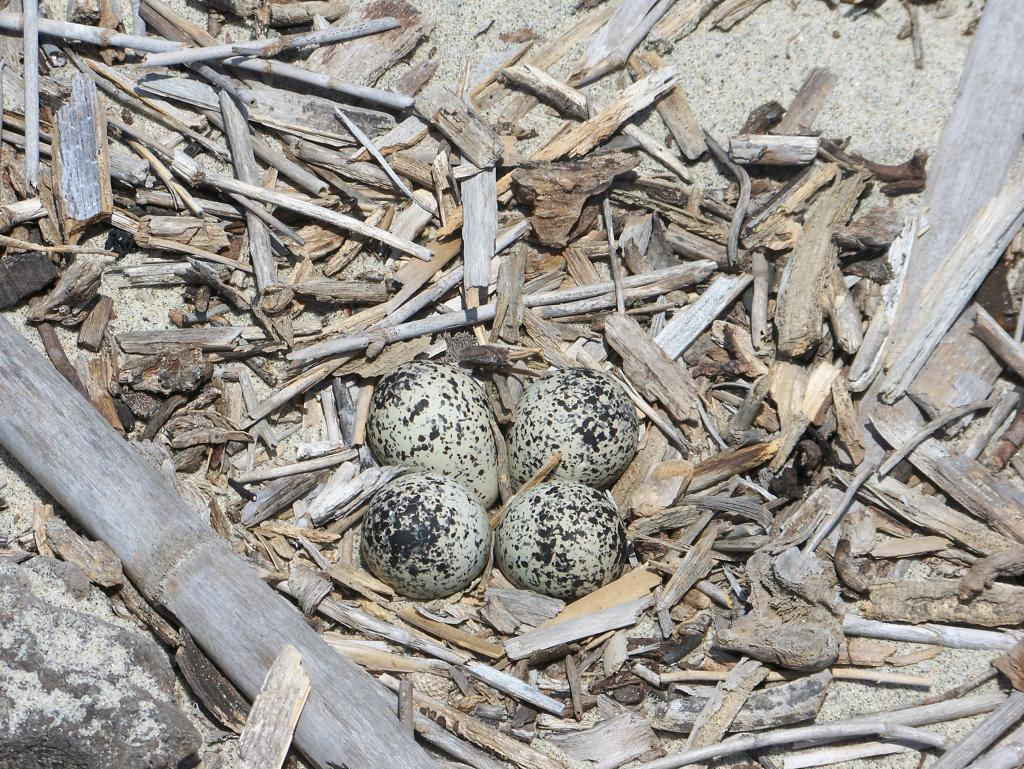 Killdeer nest with the typical clutch size: four eggs (Photo by: Rossy Mendez, 2007, courtesy of Naval Base Coronado)